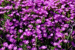 succulent flowers full sun