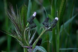 dandelion capsules and wheat