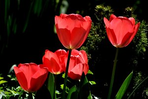 red tulips group