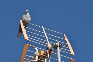pigeon looking in antenna