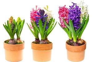 Fresh spring hyacinth flowers