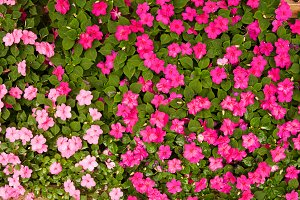 blanket of pink flowers