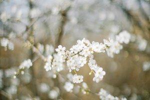 white spring cherry blossom