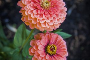 Pink Dahlia (Photo)