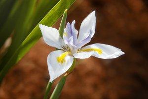Fairy Iris (Photo)