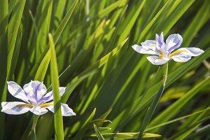 Fairy Irises (Photo)