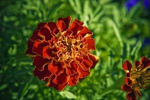 Red Ruffled Botanical (Photo)