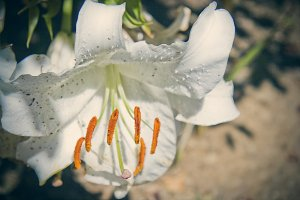 White Lily (Photo)