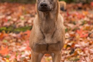 Belgian Malinois, autumn leaves