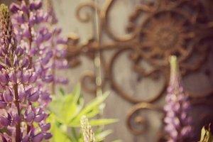Purple Lupins