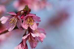 Blossoming cherry plum tree