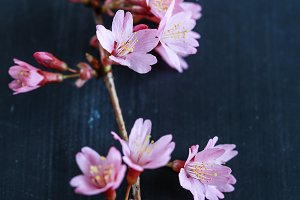 Branch of bloomed cherry plum