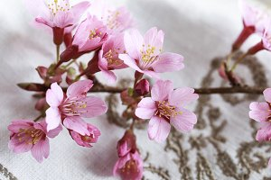 Bloomed cherry plum