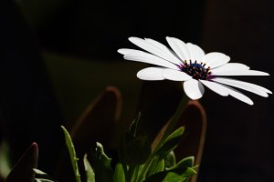 white daisy in the garden