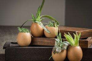 Easter idea. Succulents in Eggshells