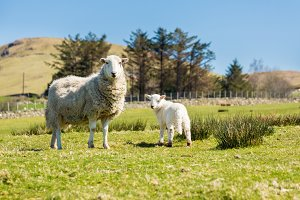 Sheep and lamb in Welsh meadow
