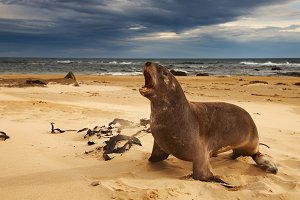 Sea lion on the beach, New Zealand