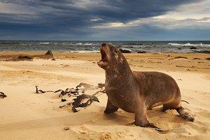 Sea lion on the beach, New Zealand