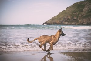 Belgian Malinois dog on the beach