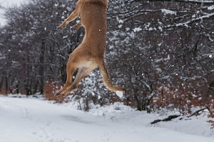 Belgian Malinois dog in the snow