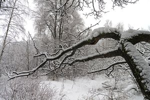 Snow-covered tree branches