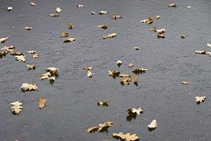 Fallen oak leaves on ther ice.
