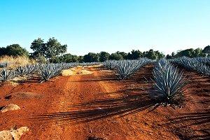 agve tequila landscape