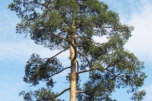 pine-tree and sky