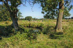 Cows near a brook