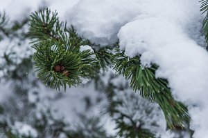 Pine tree branch covered by the snow