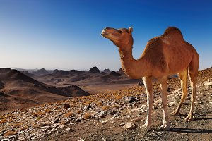 Camel in Sahara Desert