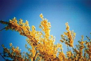 Forsythia tree