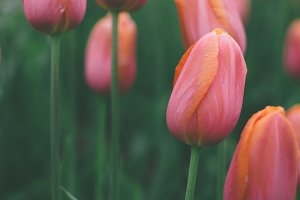 Beautiful pastel tulips