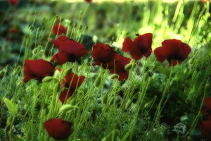 unfocused red poppies