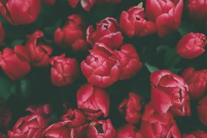 Dreamy red tulips