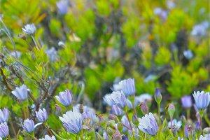 Violet Osteospermum Daisies
