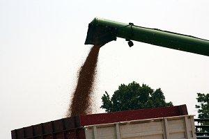 Grain harvesting 3