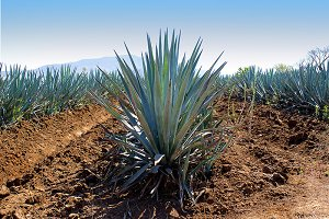 agave nature