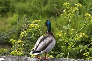 Duck in nature