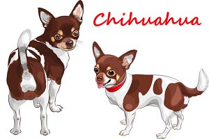 Dog Chihuahua breed smiling