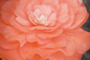 Peach Bloom (Photo)