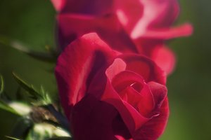 Fuchsia Rose (Photo)