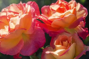 Colorful Blooming Roses 1 (Photo)