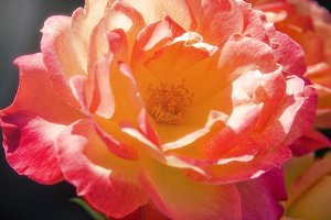 Colorful Blooming Roses 2 (Photo)
