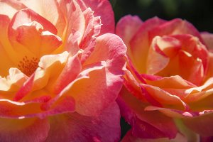 Colorful Blooming Roses 3 (Photo)