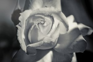 Rose in B&W 1 (Photo)