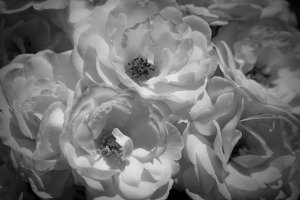 Black and White Blooms (Photo)