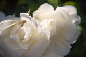 Glowing White Roses (Photo)
