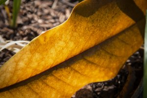 Golden Light Through Leaf (Photo)