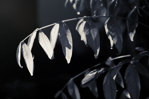 Hanging Leaves in B&W (Photo)